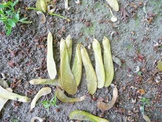 Klon srebrzysty Acer saccharinum skrzydlaki