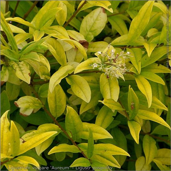 Ligustrum vulgare 'Aureum' leafs - Ligustr pospolity liście