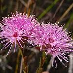 Heath Kunzea flowers (Kunzea capitata) (179085)