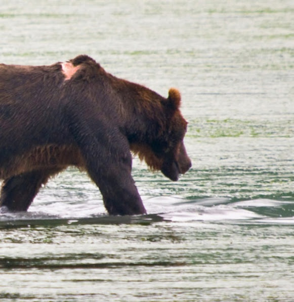 Urso pardo vs Urso polar - Página 2 Wefwewe
