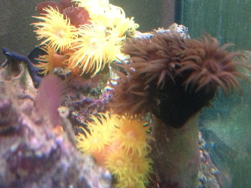 recifal france nourriture pour tubastrea ou en trouver les coraux. Black Bedroom Furniture Sets. Home Design Ideas
