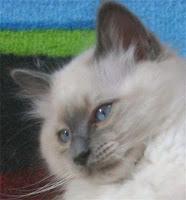 gato birman gatinho lindo