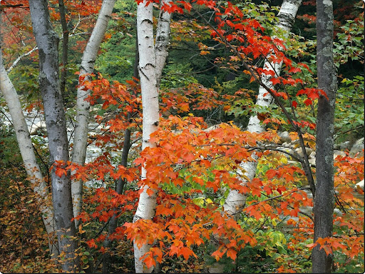 Birch and Maple Trees, White Mountains National Forest, New Hampshire.jpg