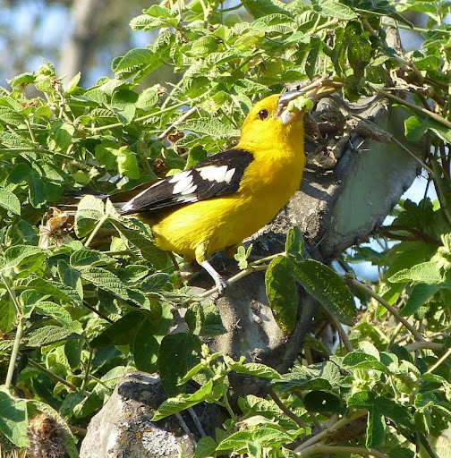 Golden-bellied grosbeak...