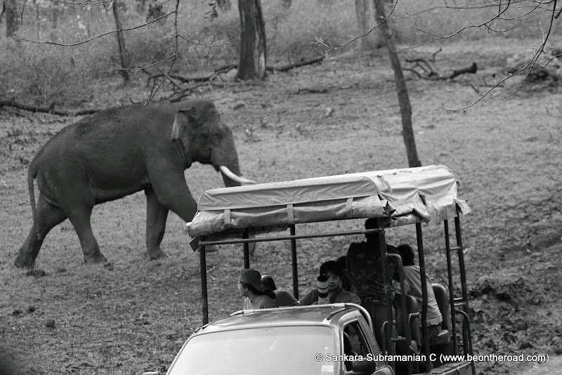 Tusker crosses the forest jeeps filled with tourists