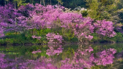 Redbud Trees in Bloom, Lake Marmo, Morton Arboretum, Lisle, Illinois.jpg