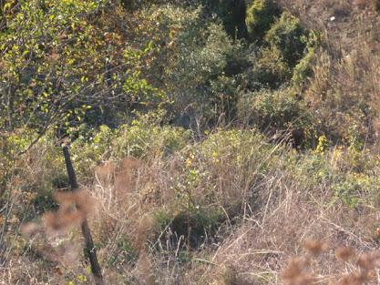 Javalis nas quelhadas da Barroca na Quinta-feira, 13 de Outubro de 2011
