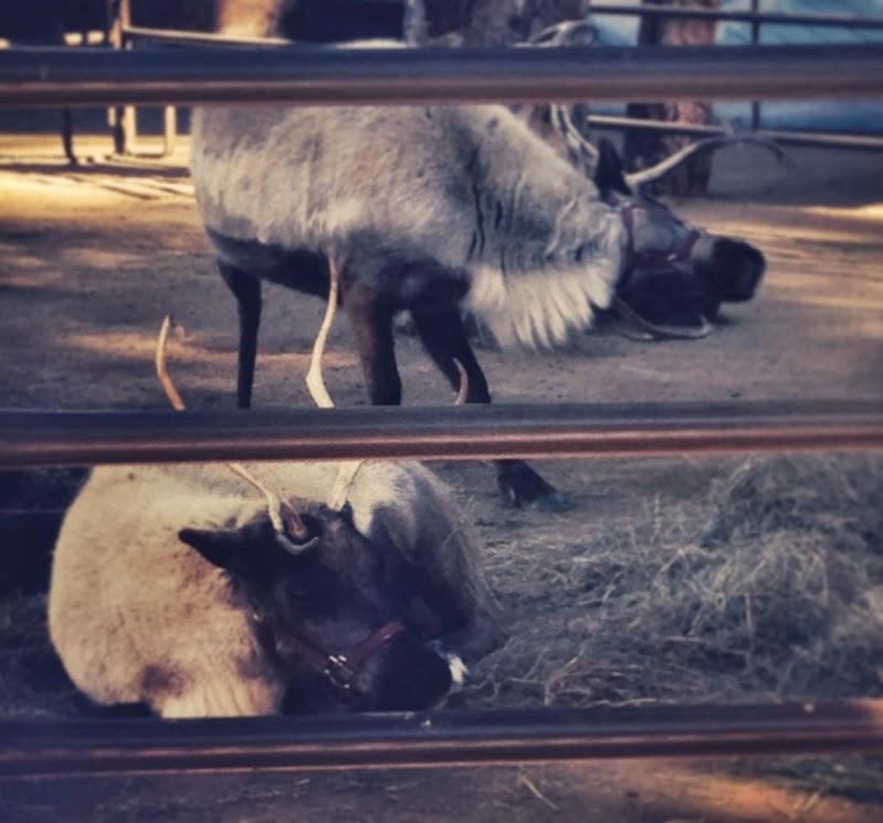 Zoo reindeer