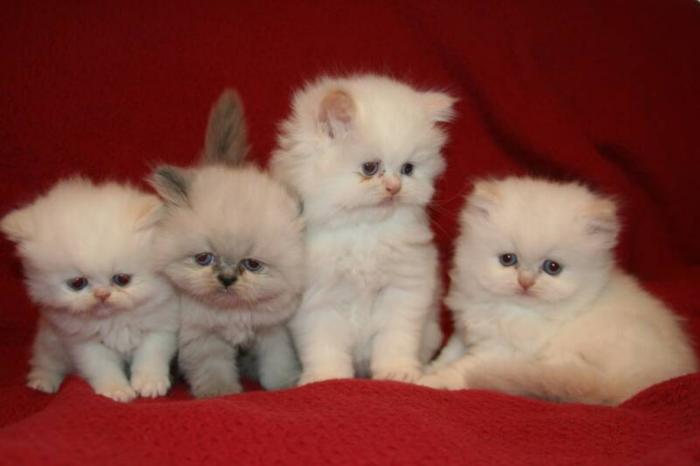 Baby: My First Persian Kitten: Type of Persian Cats