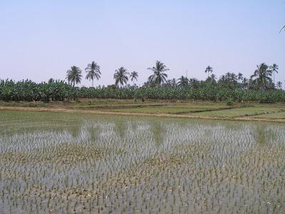 Reisfelder bei Sullana, Peru, Region Piura