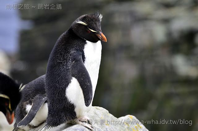 【南極遊輪探索旅遊】卡通酷企鵝出現了!跳岩企鵝 Rockhopper Penguin@福克蘭群島
