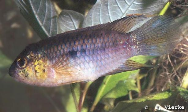 Goldkopf-Nannacara, Nannacara aureocephalus, Männchen
