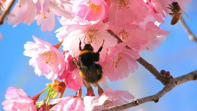 Bij op bloem in de lente