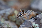 Cliff Chipmunk Paseo del Lobo Week Two (Photo by N. Renn)