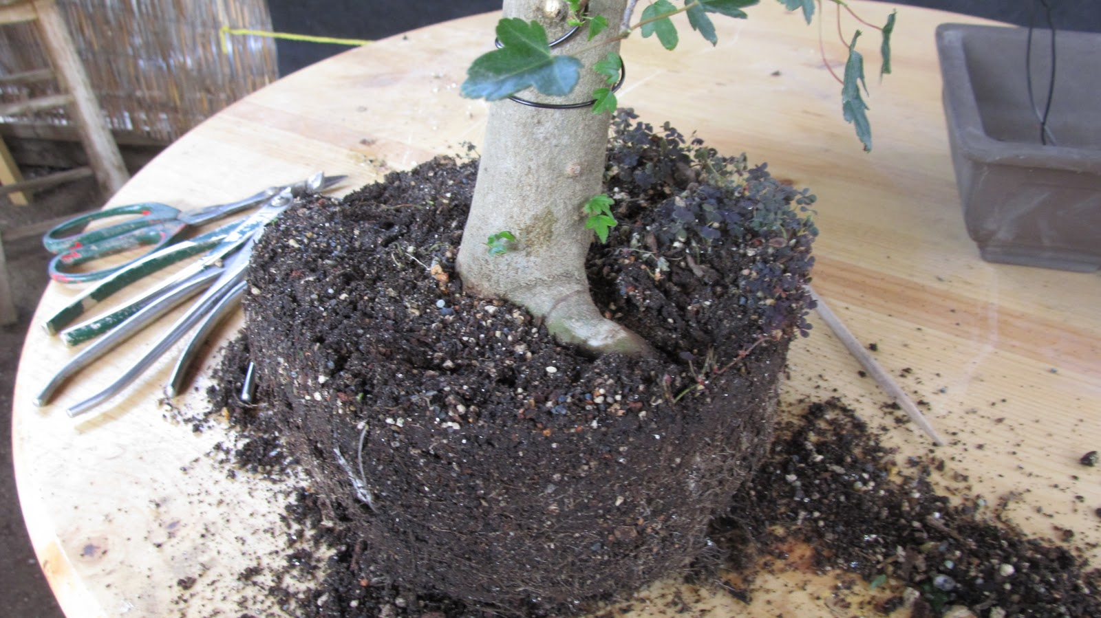 Bonsaibp39s Bonsai Blog Transplanting Into A Bonsai Pot The First