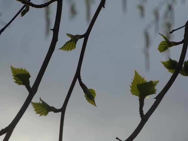 березовые листики