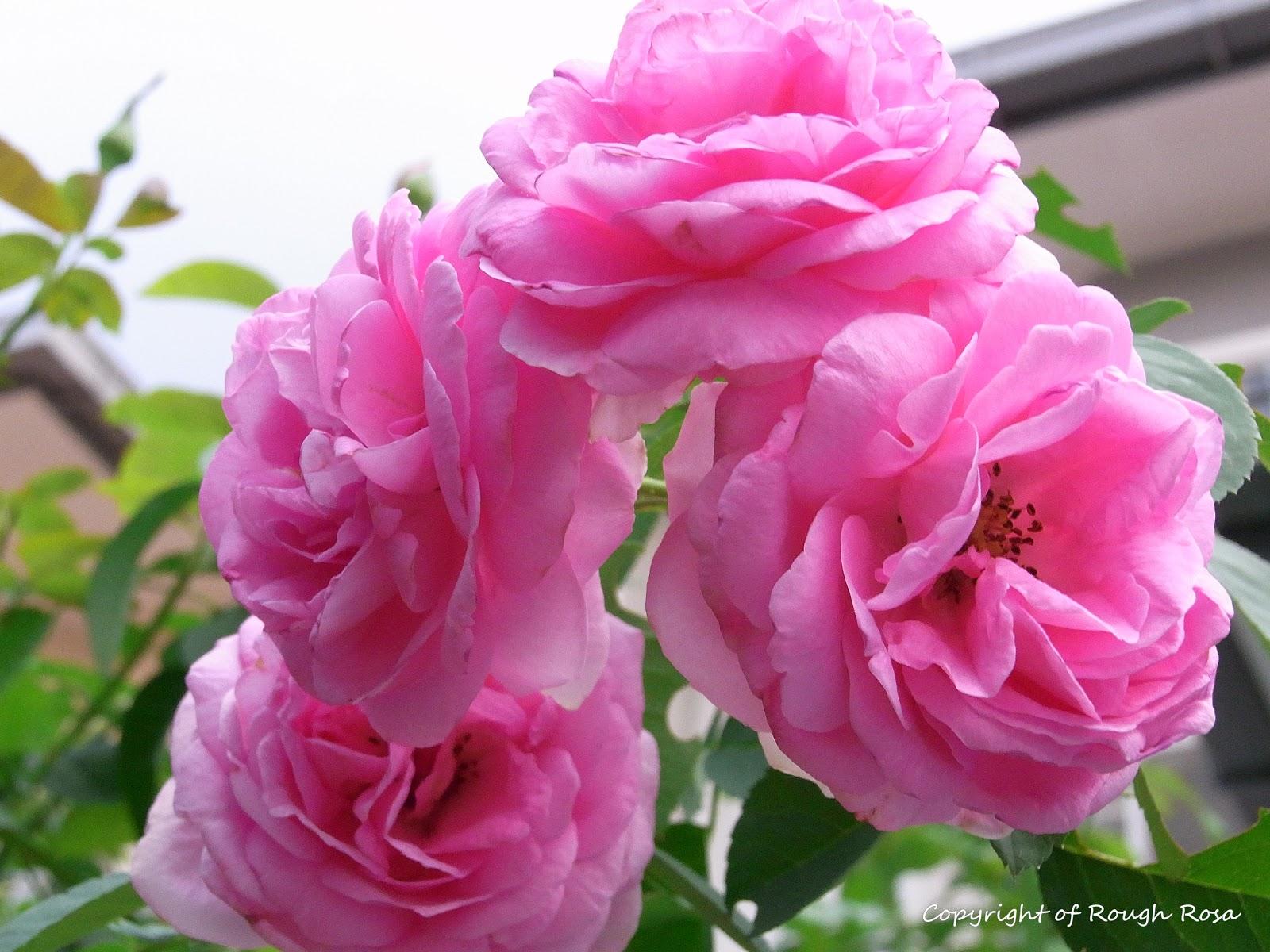 Rosa Sifu Si Pencinta Bunga Mawar