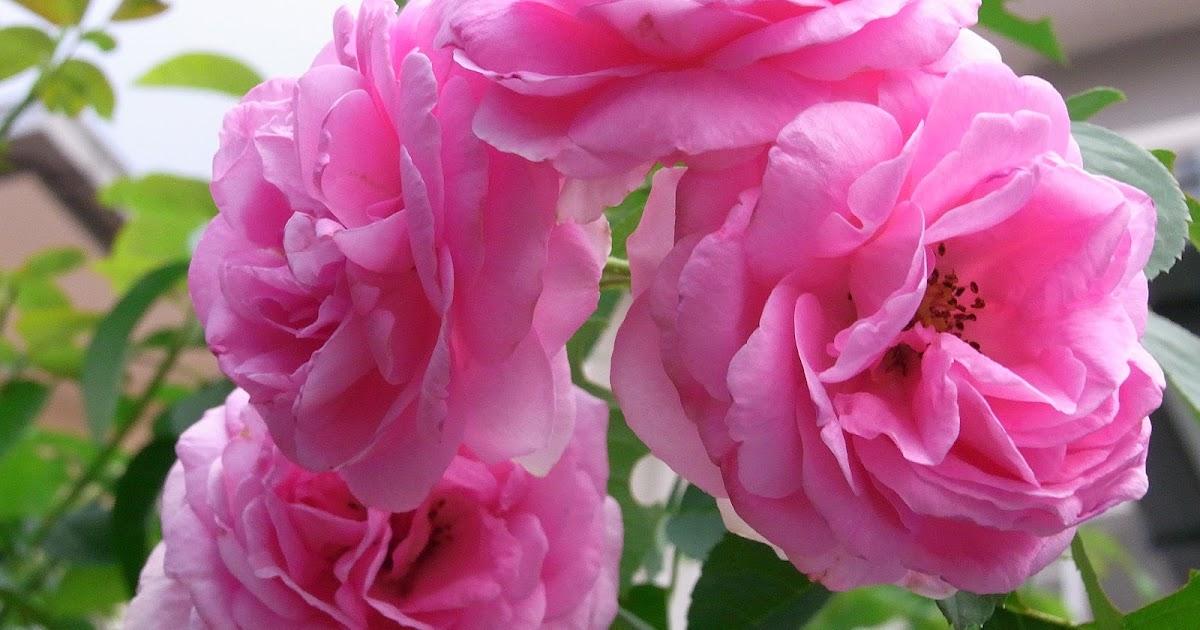 Kg Pink Classic 28 Bunga Mawar Hitam Merah Wallpaper
