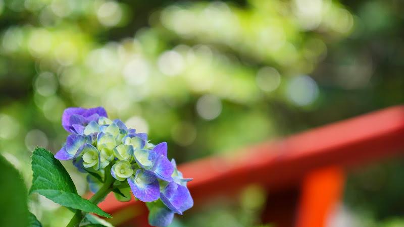 鎌倉 御霊神社 あじさい 写真2