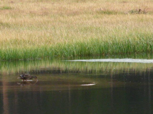 duck in Rock Creek Pond