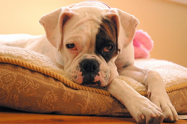 Boxer Dog Breed For Active People Lifestyle