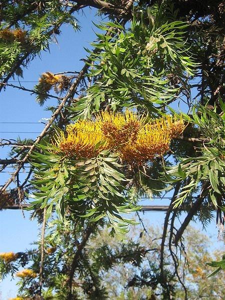Grevillea robusta - Roble australiano - Detalle
