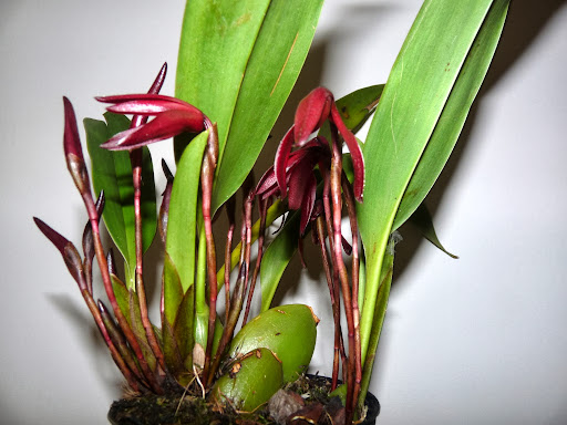 Maxillaria calantha P1370110