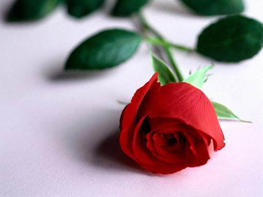 Flower_Red_rose.jpg