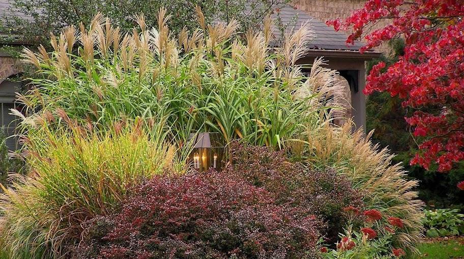 Altre idee per aiuole berberis thunbergii 39 atropurpurea - Idee per aiuole giardino ...