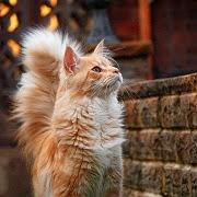 к чему снится рыжая кошка?