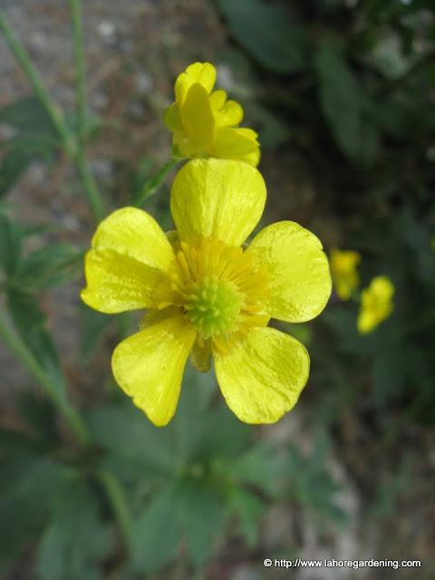 Ranunculus alpine