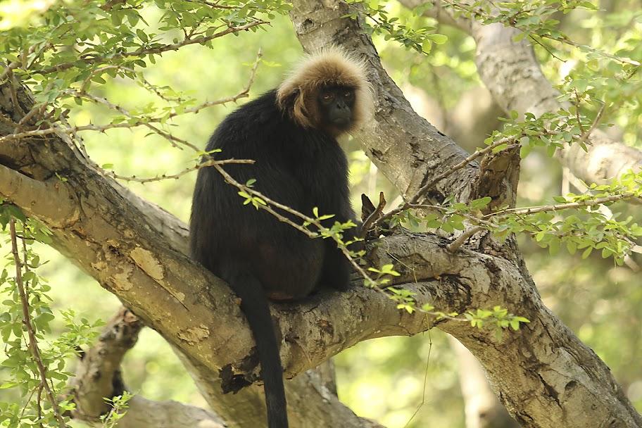 Vandalur Zoo - Langur