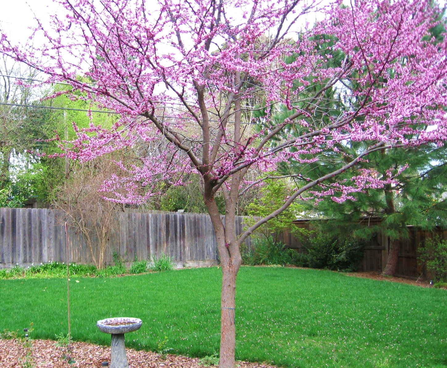 Do Rah designs A Garden View the Eastern Redbud Tree