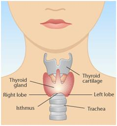 http://socialdiets.files.wordpress.com/2011/03/thyroidgland.gif