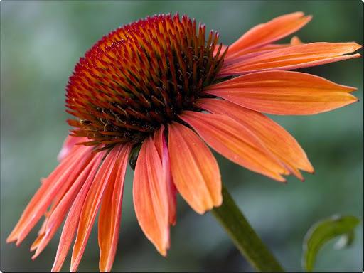 Echinacea Sundown.jpg