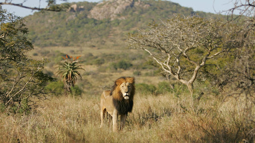 Lion in the Mountains, Phinda Private Game Reserve, South Africa.jpg