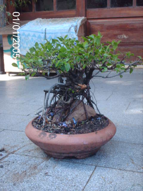 Ficus Microcarpa do Roberto Teixeira... PICT1654