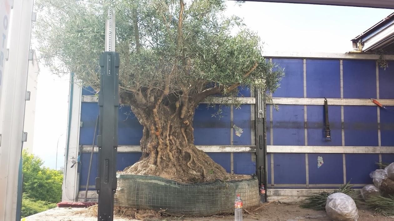 olivenbaum olea europea winterhart bis 18 grad 300 cm. Black Bedroom Furniture Sets. Home Design Ideas