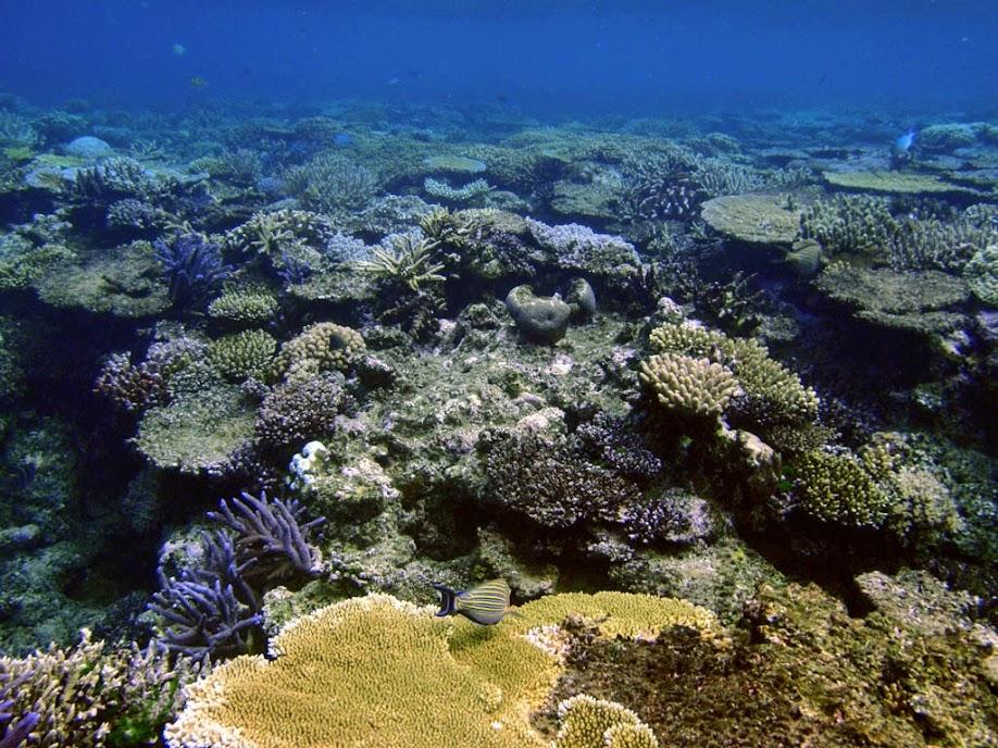 Bodianus mesothorax (Coral_Hogfish), Rarotonga.