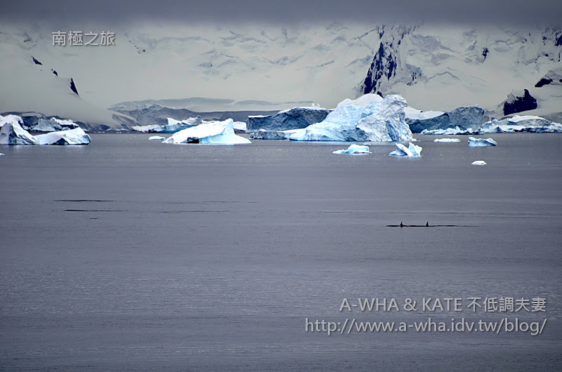 【南極探索旅遊】南極海洋上最頂級的獵食者!殺人鯨露背秀~Killer Whale