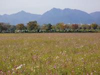 鈴鹿山系とコスモス畑