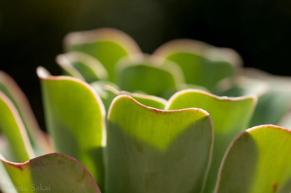 Greenovia diplocycla