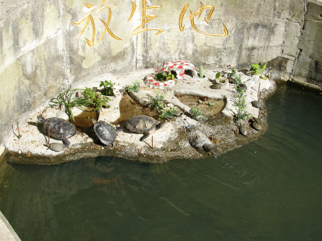 turtles and carp