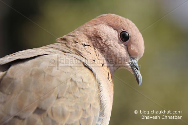 Close-up of a Laughing Dove [Stigmatopelia senegalensis] - Little Brown Dove