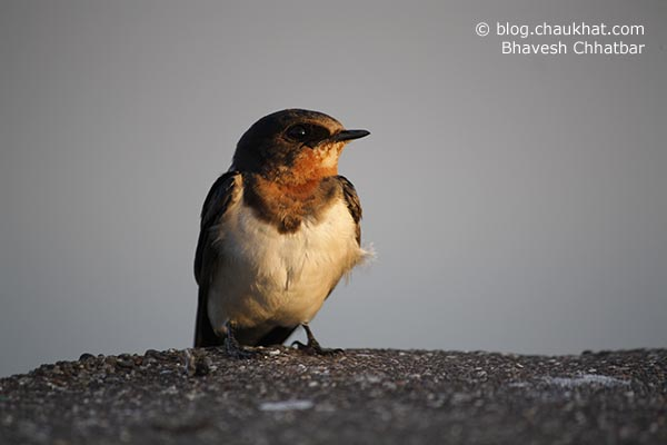 A wire-tailed swallow bird [Hirundo smithii] perched on the bridge at Kavdi near Pune city. The evening enriched the colors of the bird.