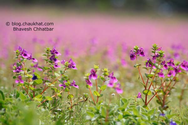 Purple Spray of Flowers in Kas Plateau