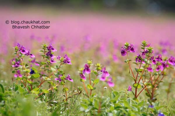 Purple Spray of Flowers in Kas Plateau