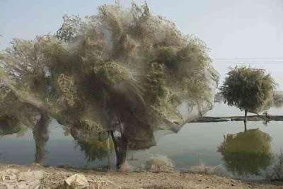 serangan laba laba