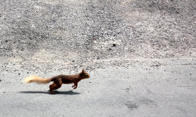 A Red Squirrel running through the street in England