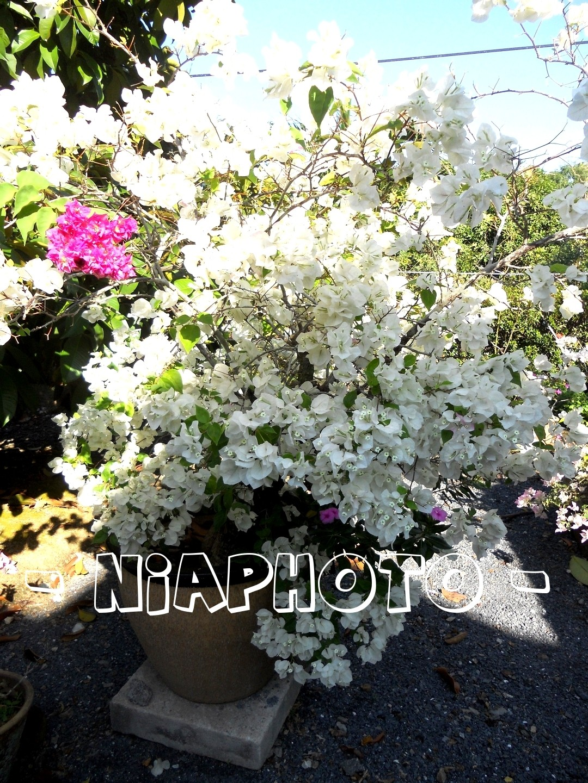 Buntal Buntal Bunga Kertas Putih Itu Bersih Cantik And Suci